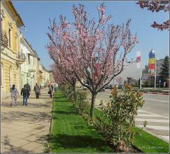 Photo: Corcodus ornamental rosu  (Prunus cerasifera Nigra) - din Piata 1 Decembrie 1918 - 2018.04.12