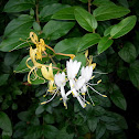 Gold & Silver Honeysuckle
