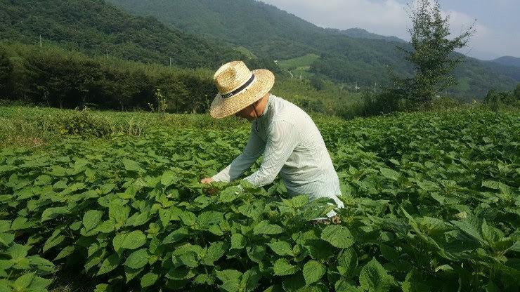 지리산 자락의 유기농 들깨밭과 들깨농부  ⓒ Qiik Hwang