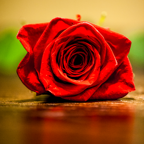 Single Rose by Kimberly Sheppard - Flowers Single Flower ( rose, red, valentines, still life, red rose, romance, flower )