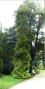 Żywotnik zachodni Aurescens