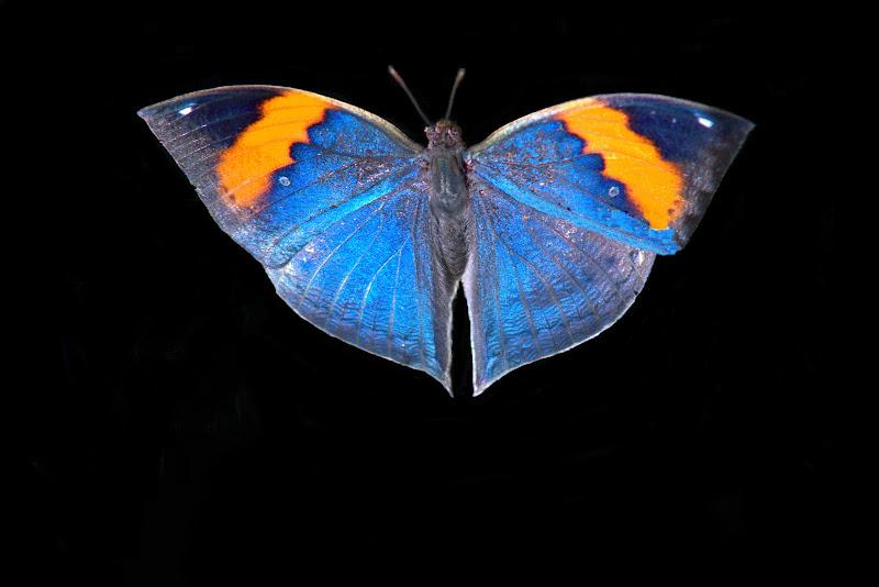 butterfly di ruggeri alessandro