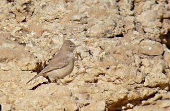 Photo: Allodola del deserto | Ammomanes deserti | Desert Lark