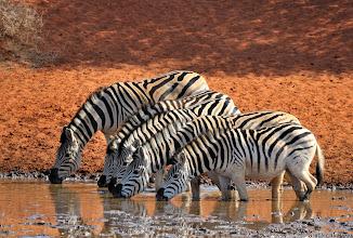 Photo: Zebras at the Haak en Steek waterhole,  Mokala National Park.