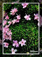 Photo: Silène acaule, Silene acaulis subsp. exscapa