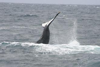 Photo: Humpback tail splash
