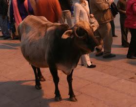 Photo: Lehmiä oli oikeasti kaikkialla