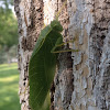 Broadwinged Katydid
