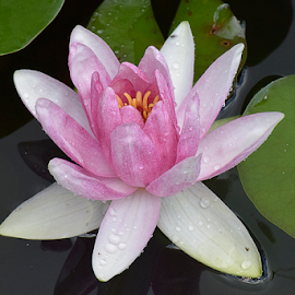 beautiful water illy close up by LADOCKi Elvira - Flowers Single Flower ( pond, water lilly, nature, plants, garden, water, summer )