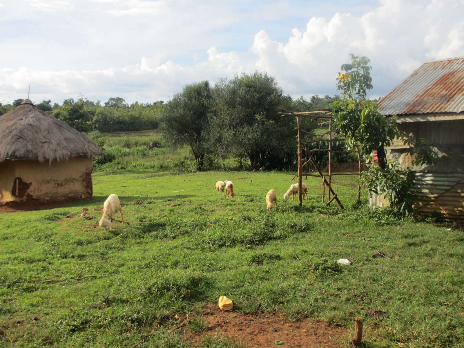 Photo: Livestock on compound of non-recipient household