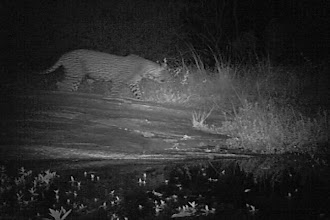 Photo: Others had set up a camera trap - and caught this leopard walking by...