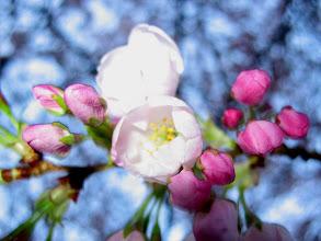 Photo: cherry blossoms, 2008