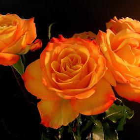 Orange Roses by Kathy Rose Willis - Flowers Flower Arangements ( black background, orange, orange roses, orange flowers, leaves,  )