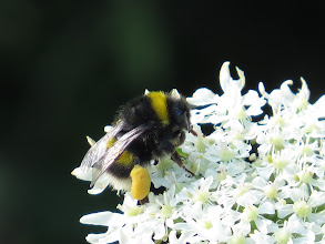 Photo: 25 Jun 13 Woodhouse Lane: A busy bee: just look at that pollen sac! (Ed Wilson)