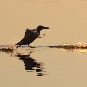 Walk on water by Andy Storey - Animals Birds ( birds )