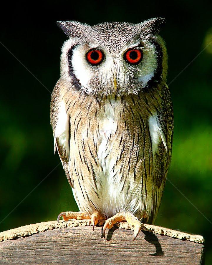 Micro owl by Gérard CHATENET - Animals Birds
