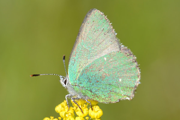 Sheridan's Green Hairstreak | Project Noah