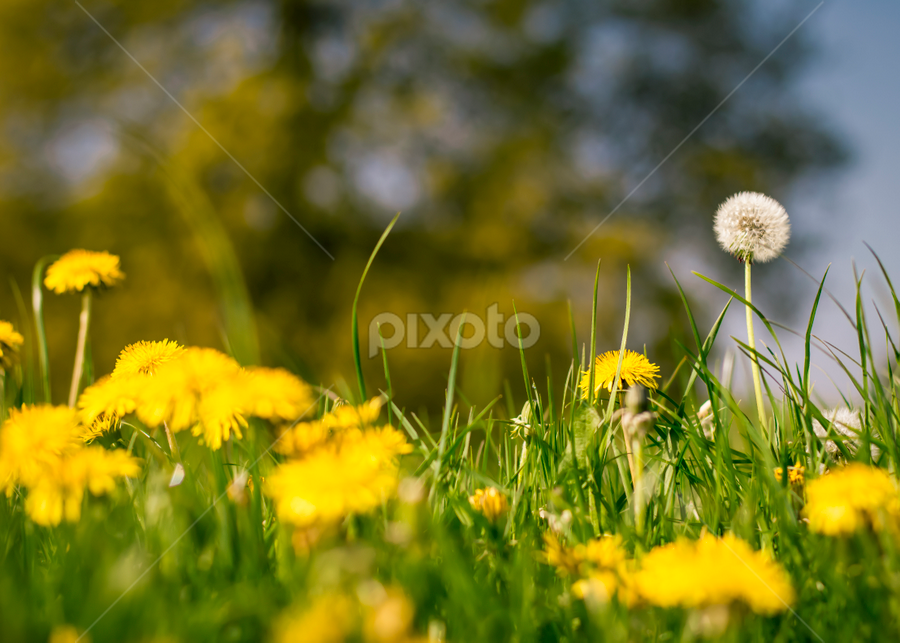dramatic backdrop dandelion by Joseph Gray - Nature Up Close Gardens & Produce ( bright, grass, beautiful, beauty, dandelions, spring, soft, pwcflowergarden, dandelion, movement, focus, flowers, flower )