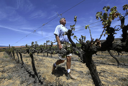 Agricultural woes: Gideon van Zyl checks for rain as he walks past vines on his farm in the Western Cape. Picture: ESA ALEXANDER/SUNDAY TIMES