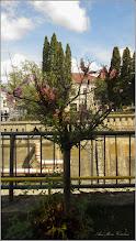Photo: Cires japonez (Prunus Surrulata) - din Turda, Piata 1 decembrie 1918, spatiu verde - 2019.04.12
