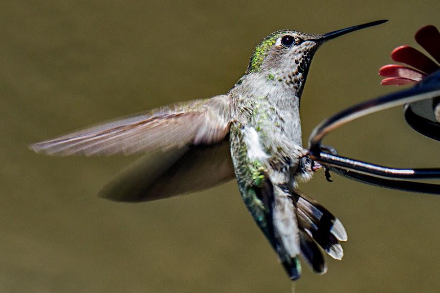 Ready for landing by Johannes Bichmann - Animals Birds ( hummingbirds )