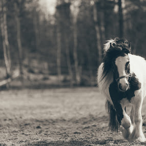 Running free by Kjell Kasin - Animals Horses ( sweden, 70-200, horse, summer, nikon, spring,  )