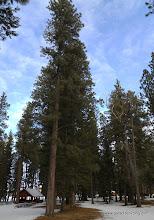 Photo: Giant ponderosa pines at Wallowa Lake State Park