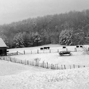 West Virginia Winter Morning No. 3 by Irv Freedman - Landscapes Weather ( fence, stream, winter, fog, west virginia, steer, sheds, trees, barns, morning, cows, black and white, b and w, landscape, b&w, monotone, mono-tone )