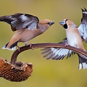 Hawfinches by Albergamo Paolo - Animals Birds