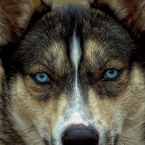 Blue by Cheri McEachin - Animals - Dogs Portraits