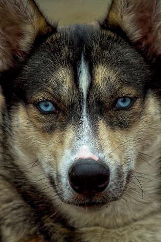 Blue by Cheri McEachin - Animals - Dogs Portraits