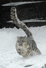 Photo: This photo provided by the Chicago Zoological Society shows, Sarani, a 1-year-old female snow leopard enjoying the snow around their outdoor habitat at the Brookfield Zoo, Thursday, Jan. 12, 2012 in Brookfield, Ill. The first snow of the season provided the animals a much different environment than the sunny conditions and temperatures in the 50's they experienced earlier in the week. (AP Photo/Chicago Zoological Society, Jim Schulz)