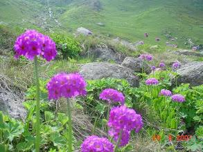 Photo: Primula türü