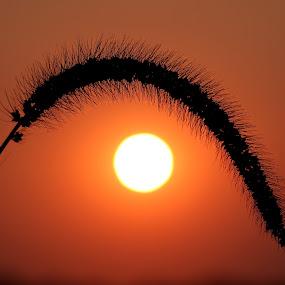 Sunset wheat by Michel Lapensée - Landscapes Sunsets & Sunrises ( wheat, sunset )