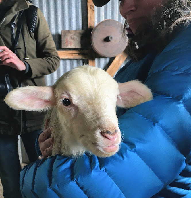 Checking out the 1-day old baby lamb