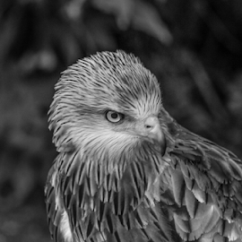 Kite by Garry Chisholm - Black & White Animals ( raptor, bird of prey, nature, red kite, garry chisholm )