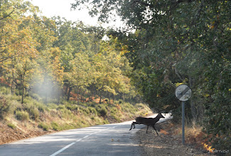 Photo: Cuidado en la carretera. Ciertas zonas son paso de fauna y debemos de tener precaución. Lo vimos venir saltando entre los brezos hasta que cruzó la carretera. Es su paso normal. Su paso diario.