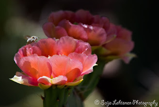 Photo: Hope everyone had a nice Monday.. I was just as busy as this little bee ;)  saija-lehtonen.artistwebsites.com   #cactusflower   #cactus   #flowersphotography   #flowerscolor   #flowersphotos   #floralphotography   #floraltoday