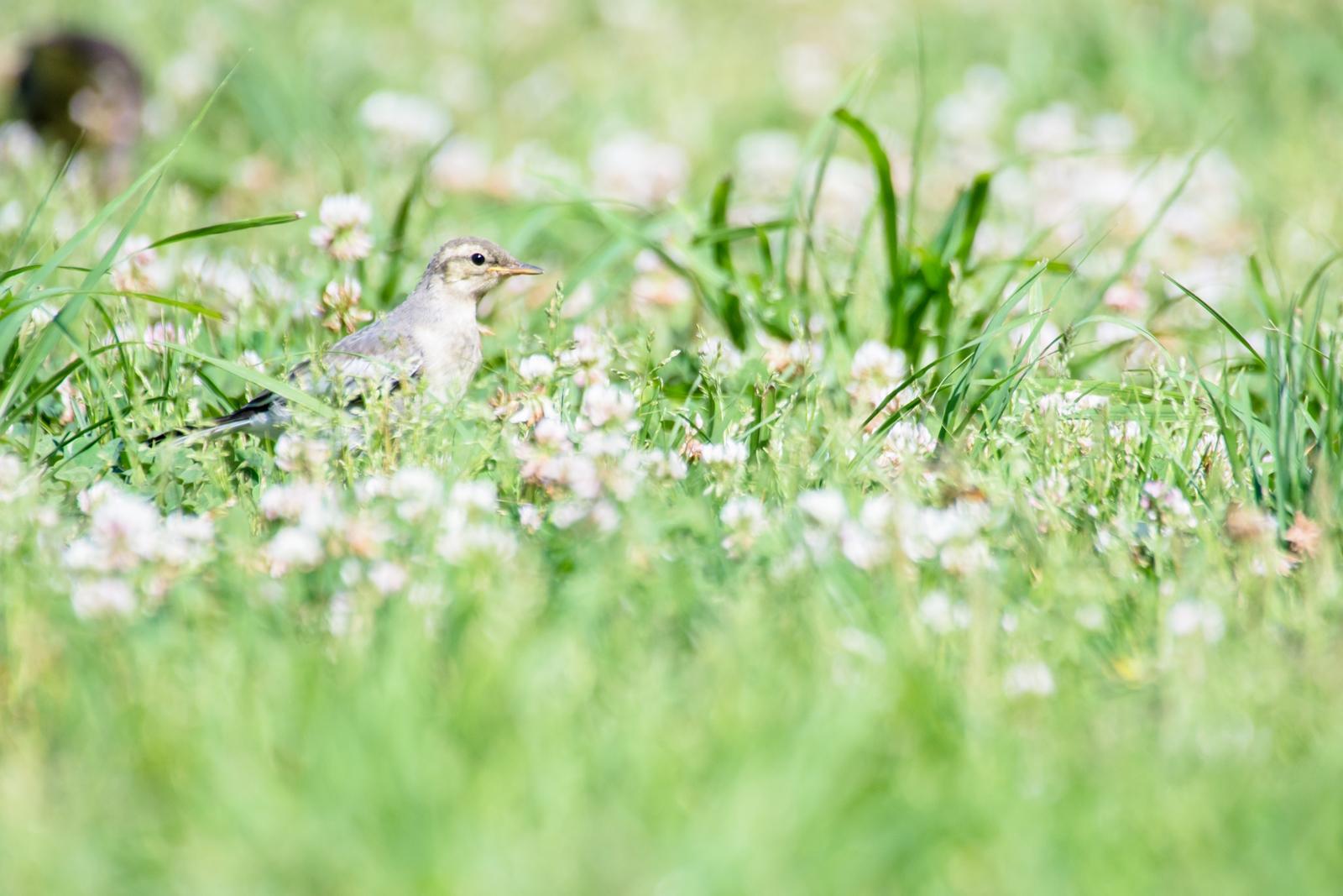 Photo: 小さな花たちに囲まれて Surrounded by a small flowers.  少しずつ 自分の足で歩んでいく 初夏の草花も歓迎するかのように 柔らかな色で包み込む  Juvenile of White Wagtail. (ハクセキレイの幼鳥)  #birdphotography #birds  #cooljapan #kawaii  #nikon #sigma   Nikon D7200 SIGMA APO 50-500mm F5-6.3 DG OS HSM  ・小鳥の詩朗読 /poetry reading https://youtu.be/dnh4jVKFrQo?list=PL2YtHGm0-R3qVsaqvQe9OYdJFCkI98wzF