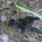 Alpine newt