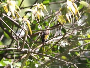 Photo: Golden-winged Sunbird - female