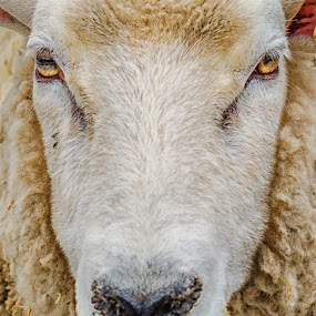 Don't Mess With Me! by Lynn Kirchhoff - Animals Other Mammals ( wool, expression, mammal, animal, stare, farm, eyes, sheep,  )