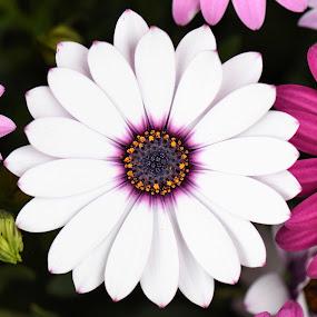 by Tesla Levine - Flowers Single Flower ( #daisies )