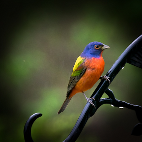 Painted bunting by Gregg Pratt - Animals Birds ( bunting )