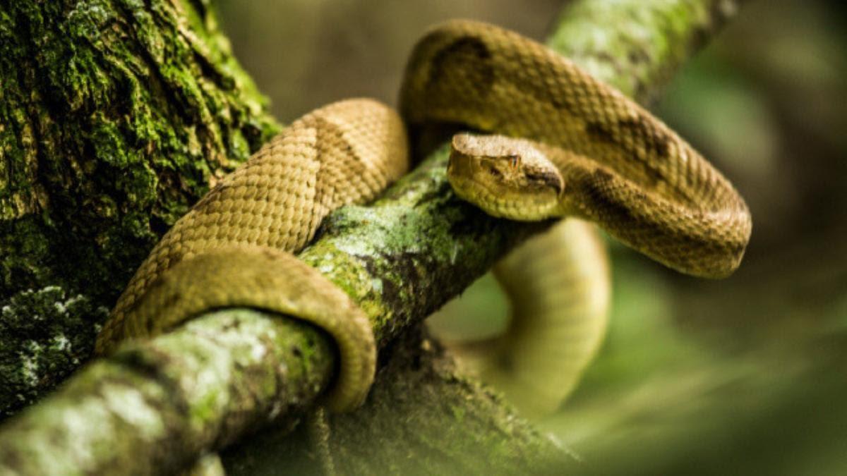 Queimada Grande, o ninho de cobras