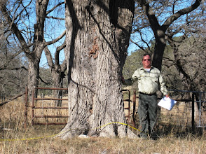 Photo: Mark Duff shows us the state co-champion Cedar Elm (Ulmus crassifolia) along a county road in Kendall County.