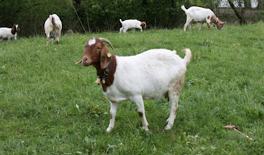Photo: Day 36 - Goats with Bells #2