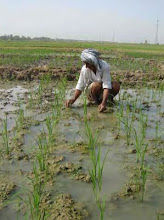 Photo: A farmer hand weeding a field, 2010 [Photo provided by  Khidir A. Hammed]