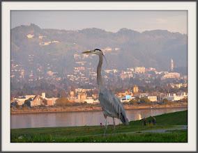 Photo: Blue heron overlooking Berkeley