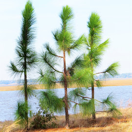 Three little pines by Mary Gallo - Nature Up Close Trees & Bushes ( nature up clsoe, nature, tree, pine trees,  )